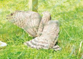 Government Must Get Tough On Raptor Killers In Yorkshire