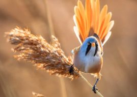 Photographers Flock To RSPB St Aidan's  For The Bearded Tit Bonanza