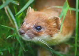 General licences introduced for the humane trapping of stoats